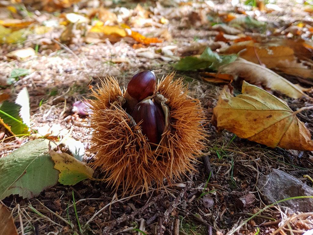 Châtaignes ©OT Tulle en Corrèze